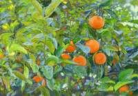 """""""Апельсины. о. Корфу. Греция. """", автор Кожин Семён"""